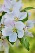 More apple blosso...