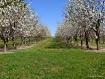 Apple Orchard tre...