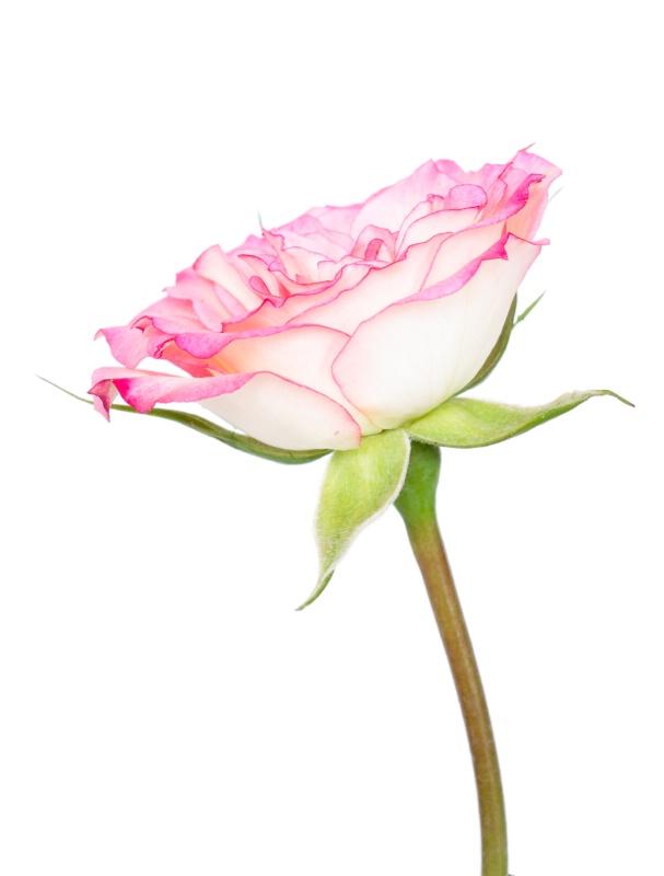 High Key Rose - ID: 15116554 © Teresa Letkiewicz