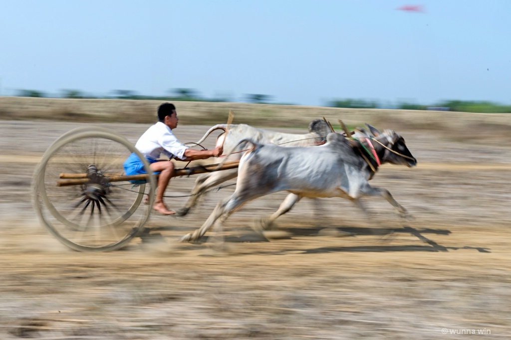 cow racing