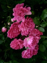 Seven Sisters Roses