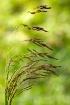 Wild Grasses in a...