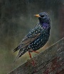 Speckled Starling
