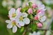 Apple blossoms 2