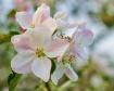 Apple blossoms 4