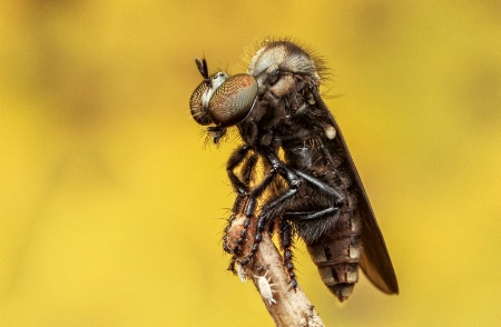 The Photo Contest 2nd Place Winner - Robber fly