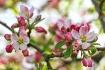 Apple blossoms......