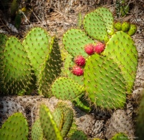 Coastal Prickley Pear