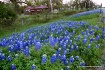 Bluebonnets in Te...