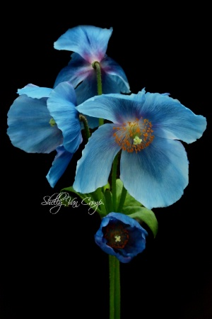 Rare Blue Poppies