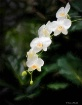 6 White Orchids