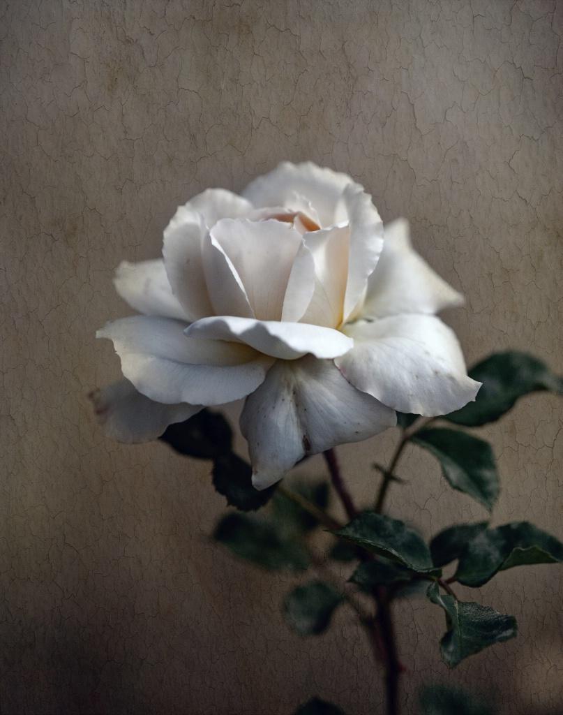 Off White Rose