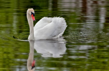 Swan Reflection