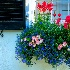 2Charleston Blue - ID: 15121784 © Zelia F. Frick