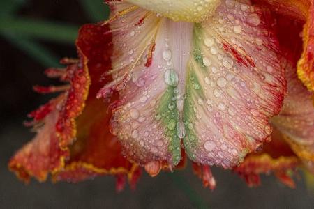 After A Spring Rain: Tulip Petal