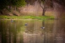 inflight duck ballet