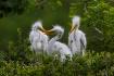 Three White Egret...