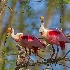 © Kenneth A. Wilson PhotoID# 15128987: Roseate Spoonbills Starting a Nest