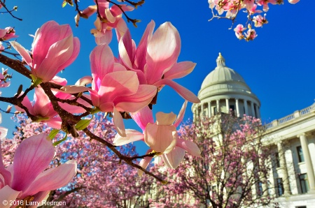 Japanese Magnolias at Arkansas State Capitol