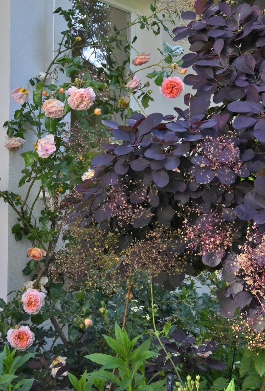 """Abraham Darby with Cotinus """"Royal Purple"""" - ID: 15130986 © Sibylle G. Mattern"""