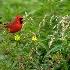 © Jeff Gwynne PhotoID # 15131065: Cardinal