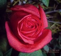 """Coral Anniversary Rose"""
