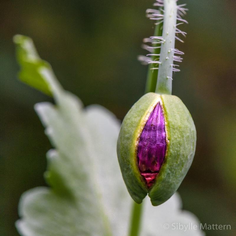 budding Papaver somniferum  - ID: 15131604 © Sibylle G. Mattern