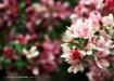 Crabapple Blossom...