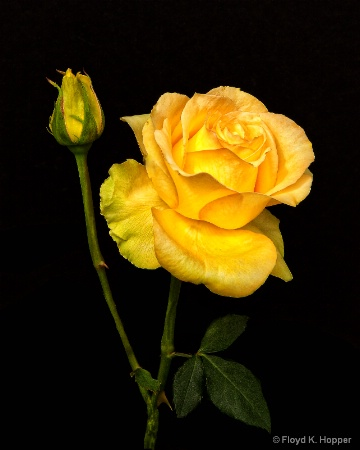 Yellow Rose and Bud