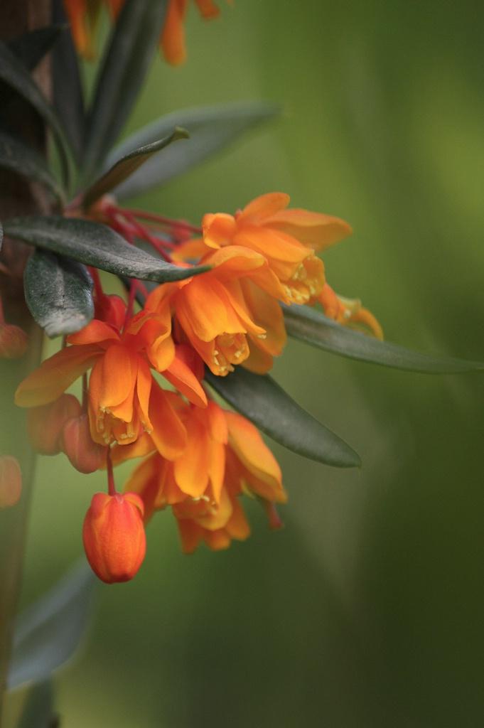 Orange King barberry flowers