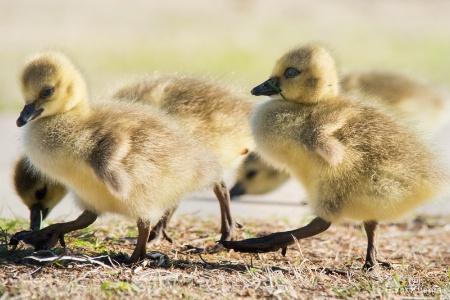 Little goslings with big feet