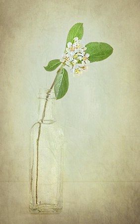 Photinia or Chokeberry