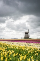 Dutch windmill in the tulips