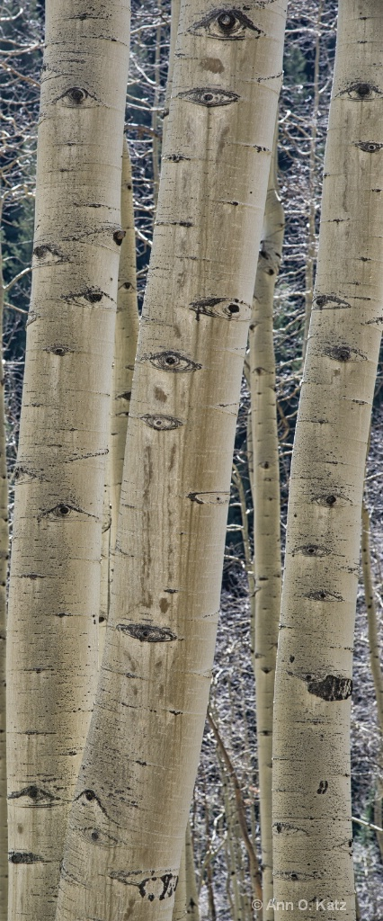 Eyes of Aspens.JPG - ID: 15139383 © Annie Katz