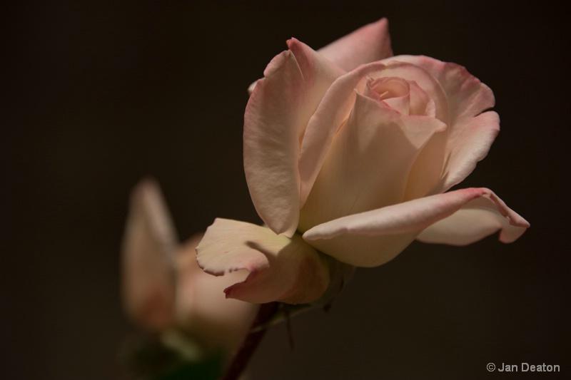 Soft As A Rose