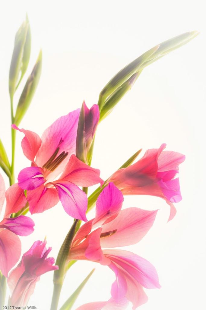 Iris - ID: 15142344 © Thomas L  Willis