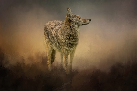 The Lone Coyote