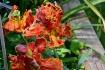 Blumex Tulip