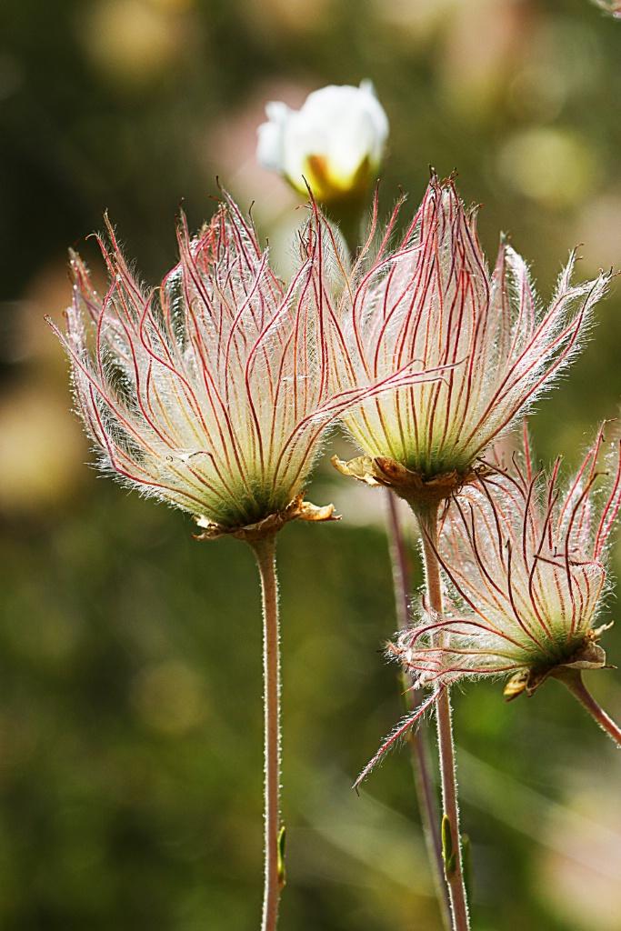 Feathery Petals