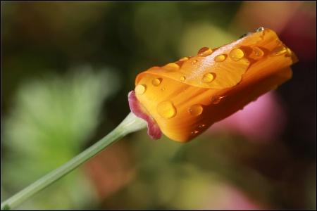 Dew on Poppy