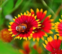"""-------""""Indian Blanket and Honey Bee""""-----"""