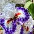 2Bearded Iris - ID: 15151946 © Steve Abbett