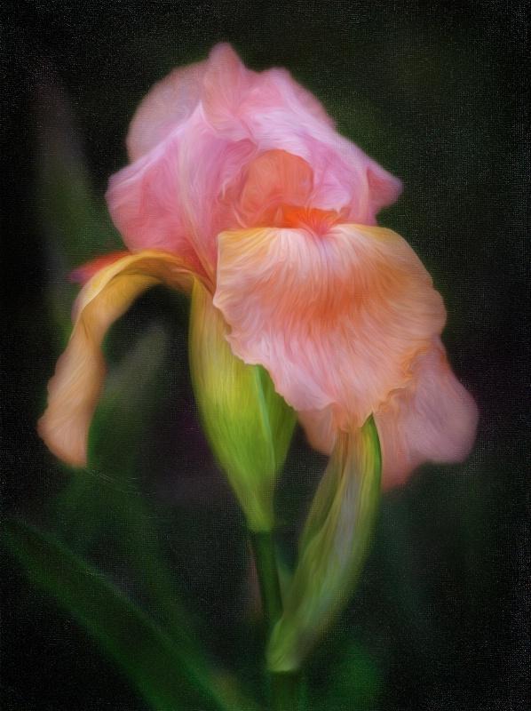 Swirly Iris