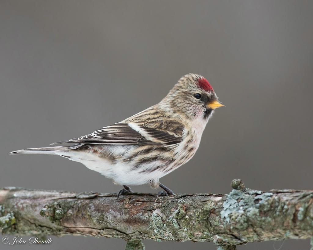 Common Redpoll - Dec 24th, 2012 - ID: 15153282 © John Shemilt
