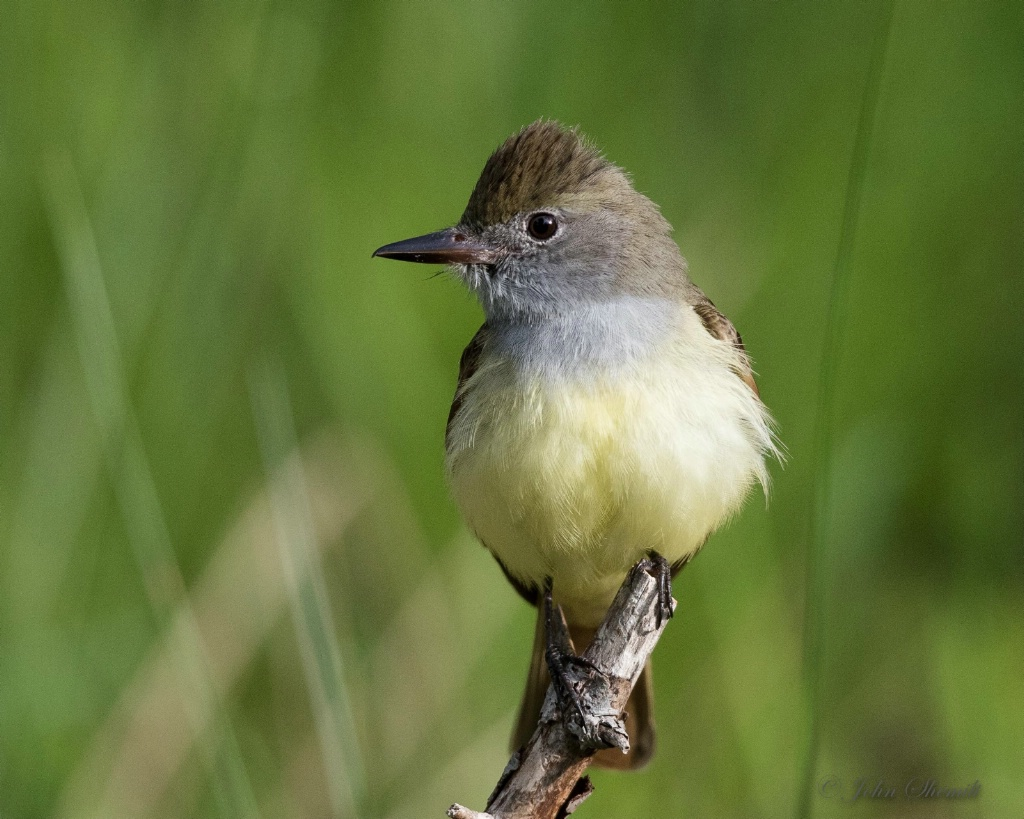 Great Crested Flycatcher - May 21st, 2016 - ID: 15153295 © John Shemilt