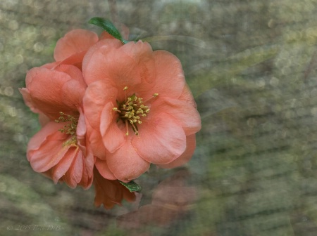 Textured Quince