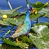 © Frank Silverman PhotoID # 15156435: Blue Galanule.  Wakodahachee, Florida