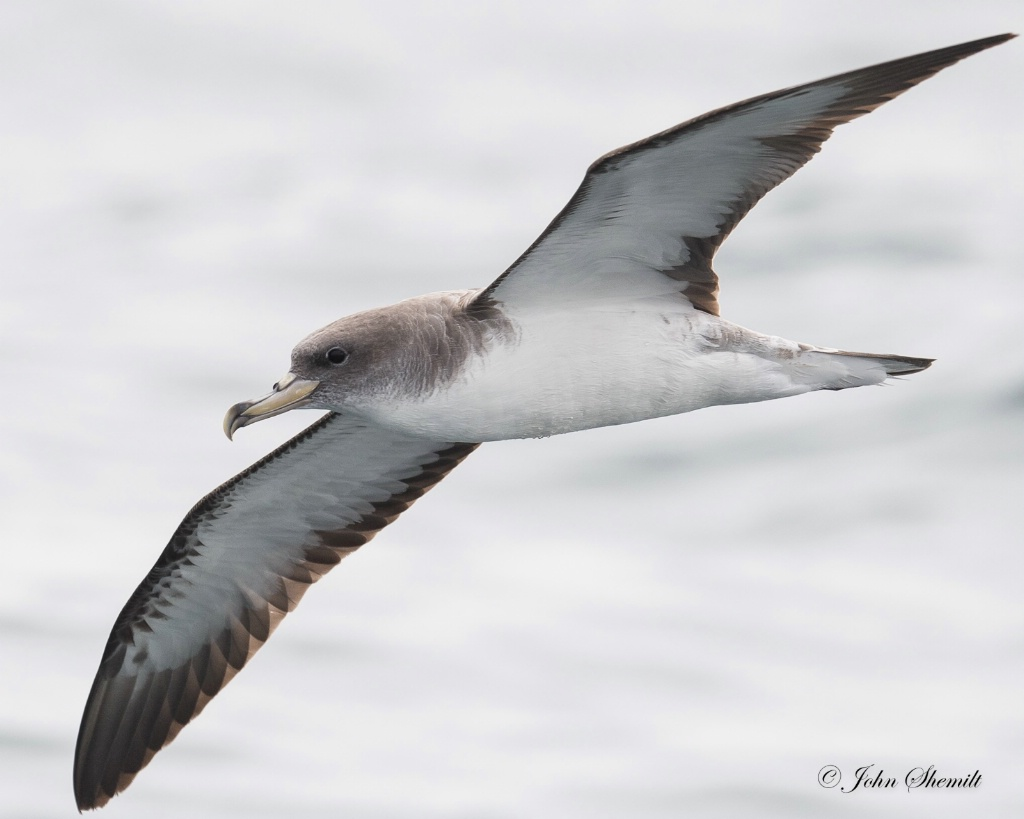 Cory's Shearwater - May 29th, 2016 - ID: 15157168 © John Shemilt