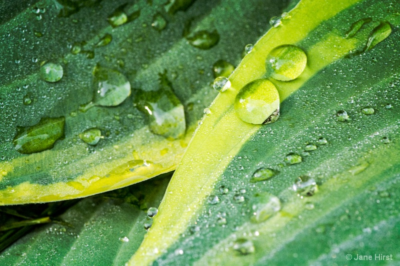 Hasta Plant & Water Drops