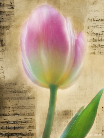 Tulip and Music